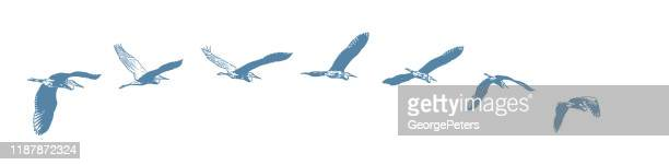 sequential series vector of a great blue heron flying - scratchboard stock illustrations