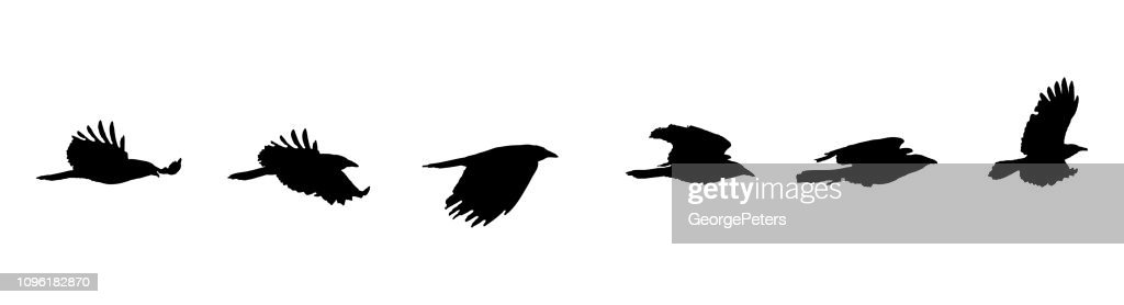 Sequential series vector of crow flying on white background : stock illustration