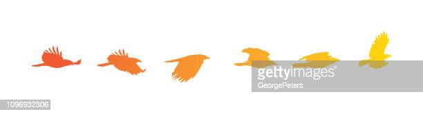 Sequential series vector of crow flying on white background