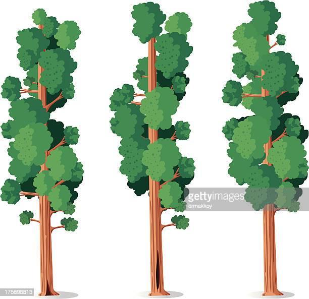 sequoia - sequoia tree stock illustrations