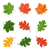 set - leaves of maple and oak for natural decoration. Isolated. Vector illustration. Eps 10.