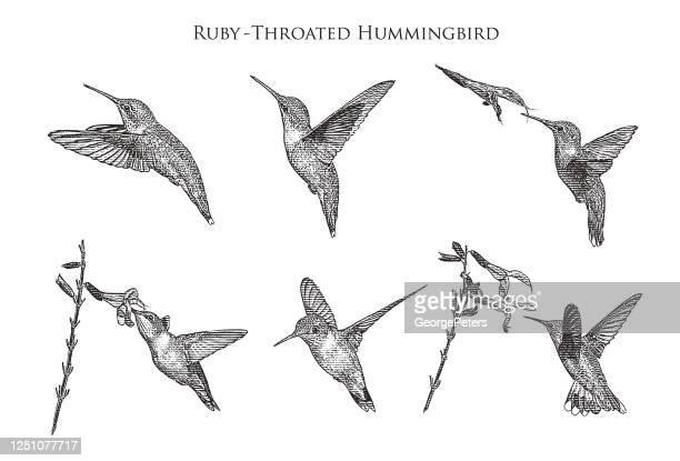 illustrations, cliparts, dessins animés et icônes de ensemble de 6 colibris à gorge rubis - gravure