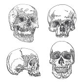 Set of anatomic skulls in different directions, weathered and museum quality, detailed hand drawn illustration.