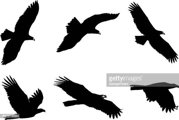set of bald eagle silhouettes - bird of prey stock illustrations, clip art, cartoons, & icons