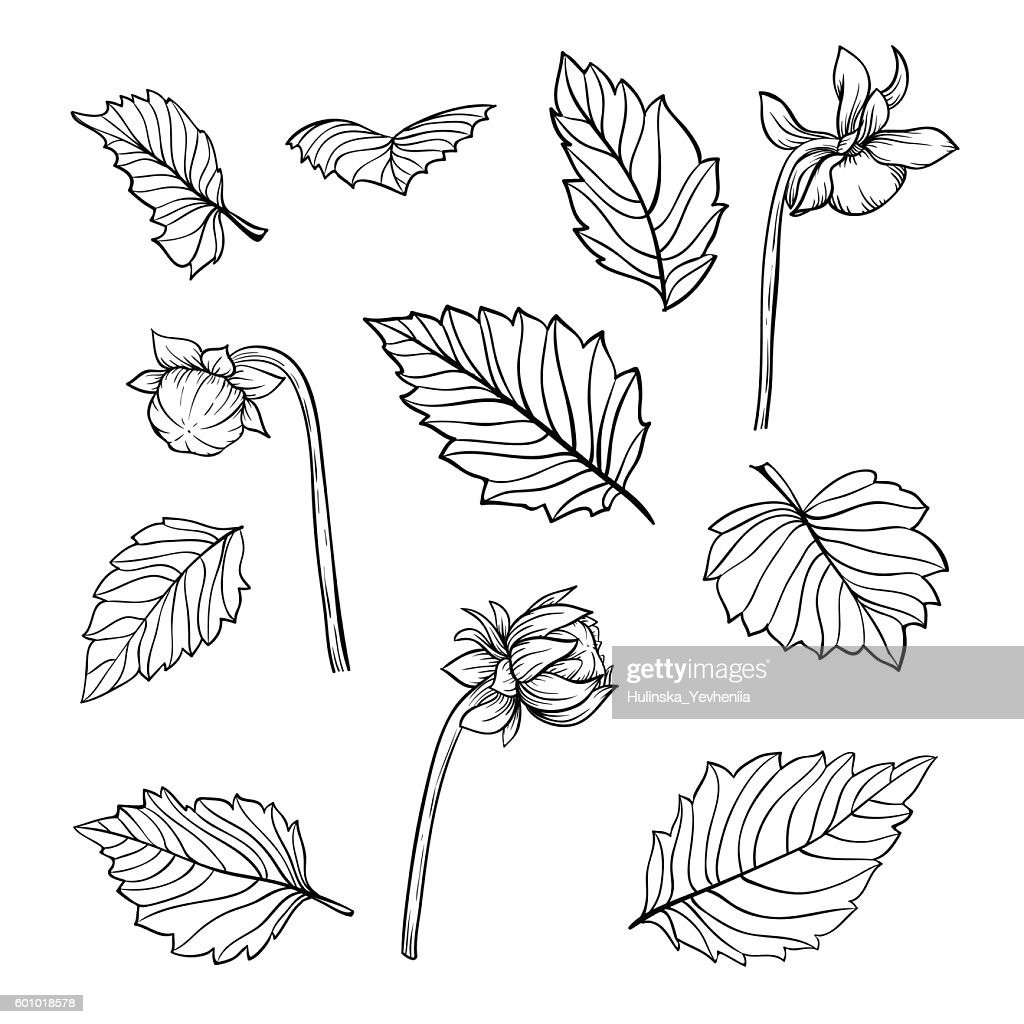 set of beautiful black and white dahlia leaves and buds