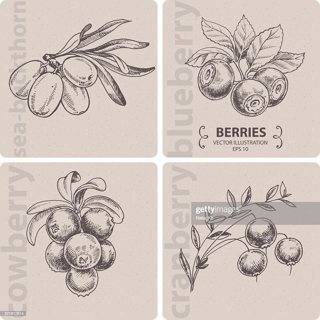 Set of berries - Cranberry, Blueberry, Cowberry and Sea-buckthorn.