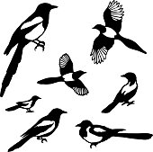 Set of black isolated vector silhouettes of birds (magpie).