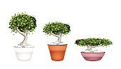 Set of Bonsai Tree in Ceramic Pots