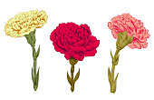 Set of carnation schabaud: red, pink, yellow flowers, green stems, leaves on white background for Mother's Day, Victory day, digital draw in engraving vintage sketch style, vector