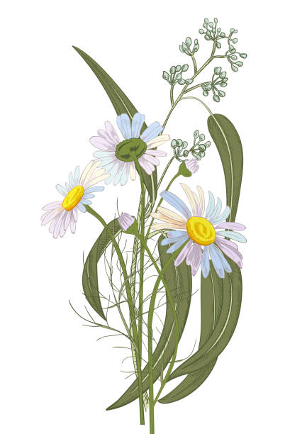 Set Of Chamomile (Daisy) Bouquets: White Flowers, Buds, Green Leaves (eucalyptus Seeded). Realistic Botanical Sketch On White Background For Design, Hand Draw Illustration In Vintage Style, Vector Wall Art