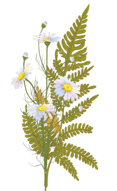 Set of Chamomile (Daisy) bouquets: white flowers, buds, green leaves (forest fern). Realistic botanical sketch on white background for design, hand draw illustration in vintage style, vector