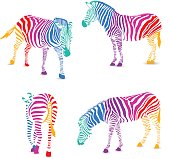 Set of colorful zebra.