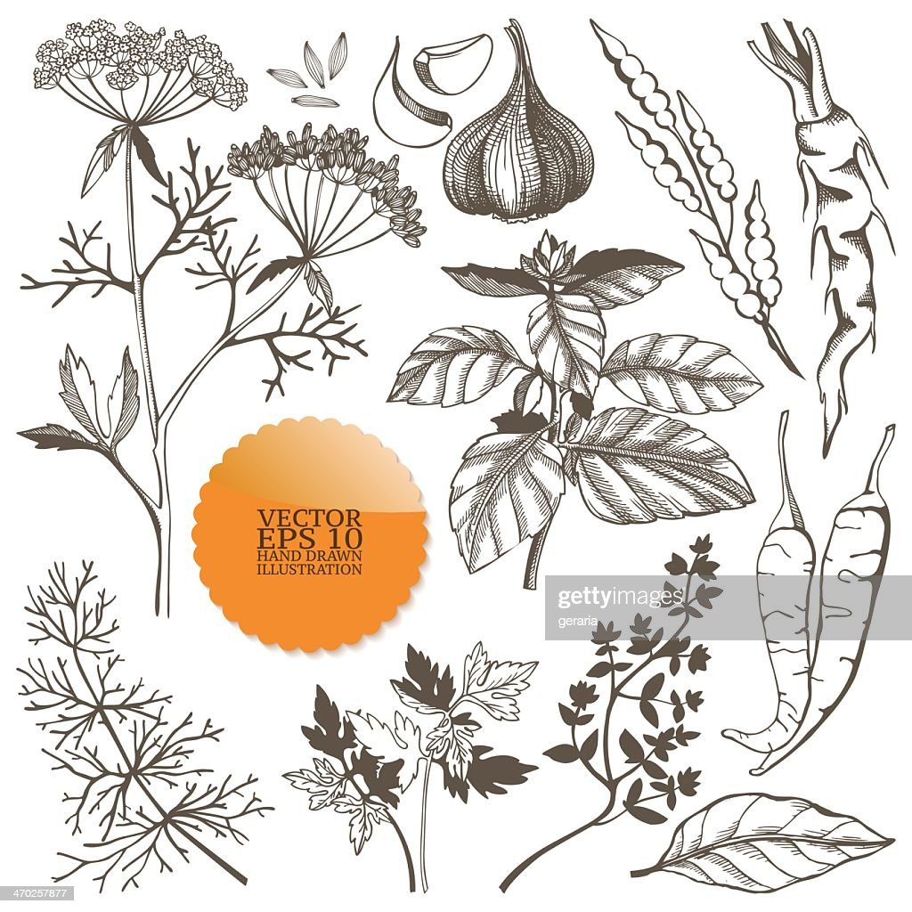 A set of different drawings of spices and herbs