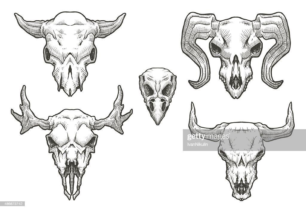Set of Drawing animal's skulls
