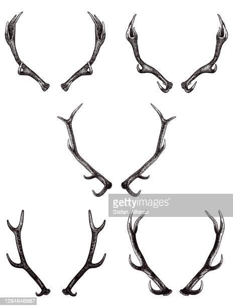 set of drawings of antlers of elk and deer - antler stock illustrations