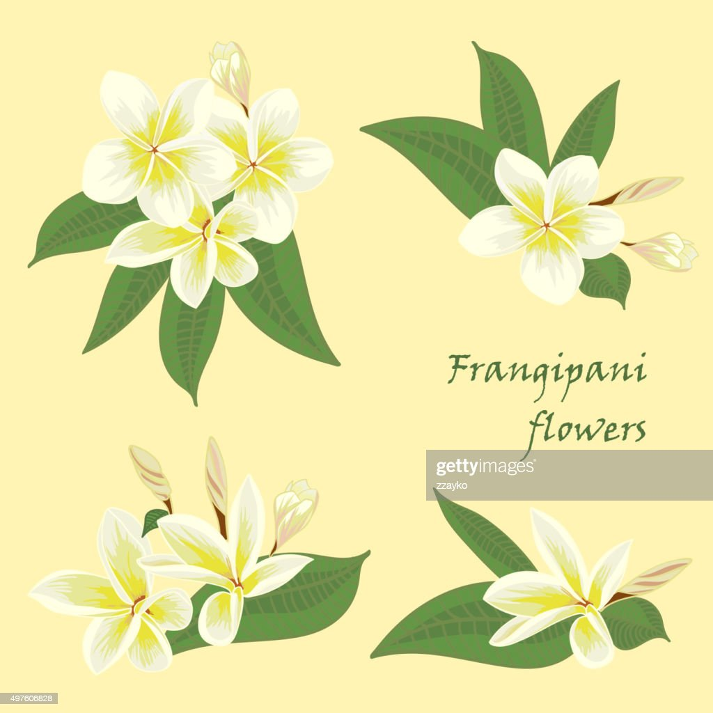 Set of flowers frangipani with leafs in realistic hand-drawn style