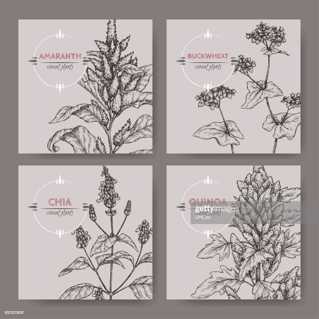 Set of four banners with amaranth, quinoa, chia and buckwheat sketch. Cereal plants collection.