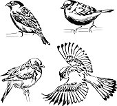 Set of four sparrows. Hand-drawn vector illustration