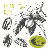 Set of hand drawn pecans. Black and white sketch food.