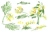 Set of Hand-Drawn Mimosa, Painted in Watercolor