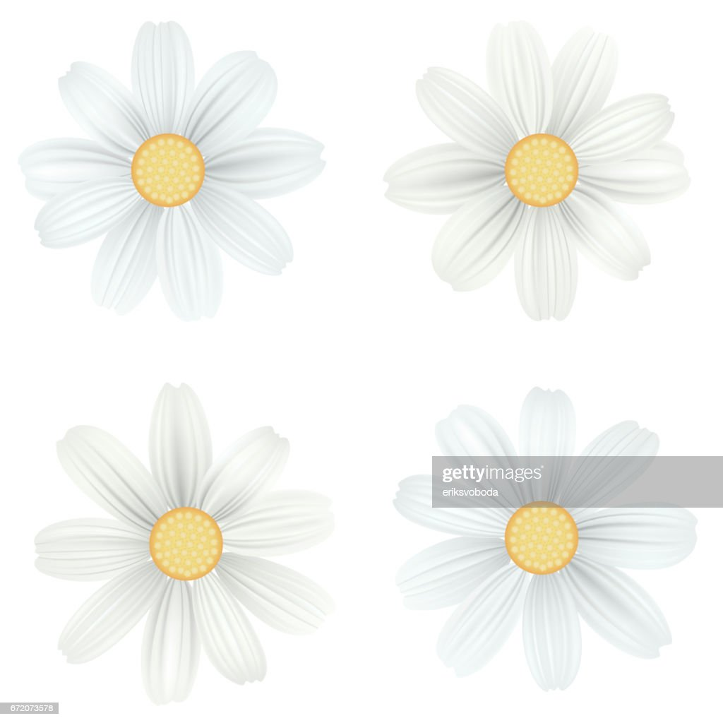 set of isolated white camomile daisy vector flowers on white