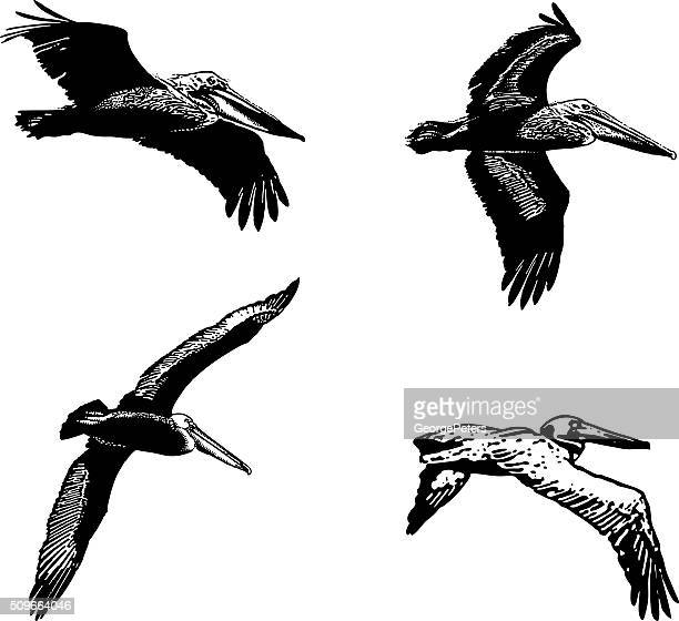 set of line art pelicans, isolated on white - panama city panama stock illustrations, clip art, cartoons, & icons