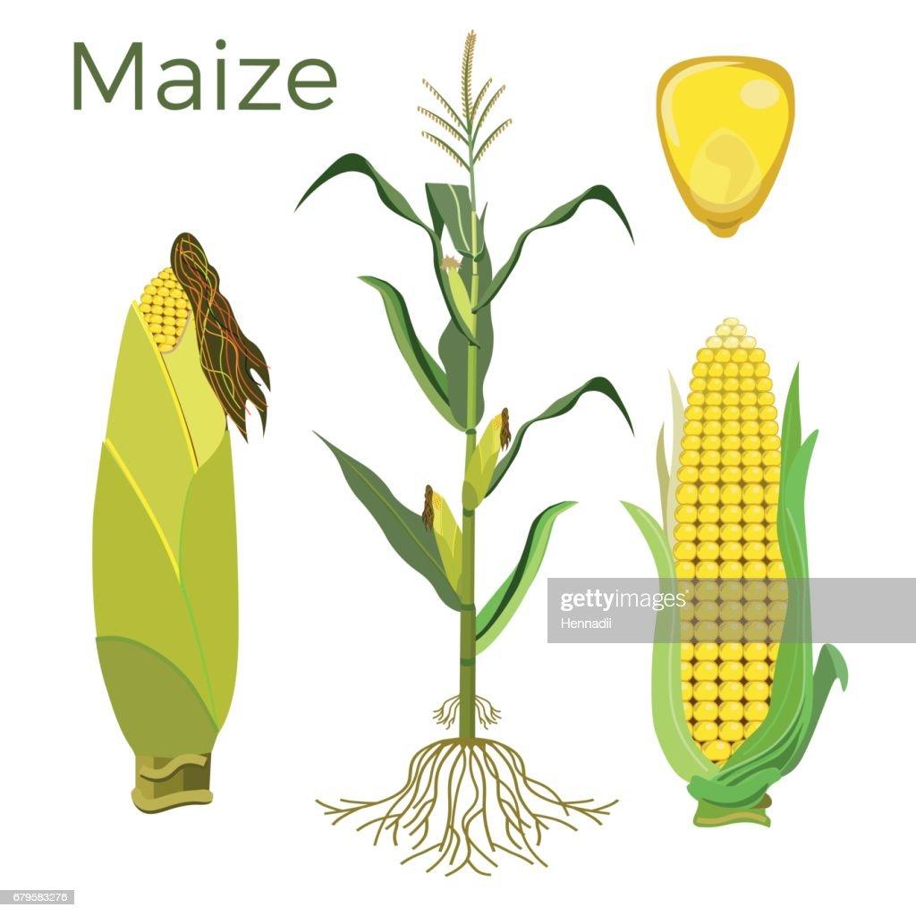 Set of maize plant