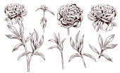 Set of peony: brown (sepia) monochrome contour of flowers, bud, stems, leaves on white background. Botanical illustration for design, digital draw in engraving vintage style, etching, vector