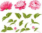 Set of peony flowers elements