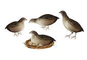 Set of quail birds