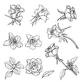 A set of roses with leaves drawn with a pen, vector Botanical illustration.