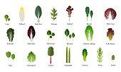 Set of salad bowl. Leafy vegetables green. Vector