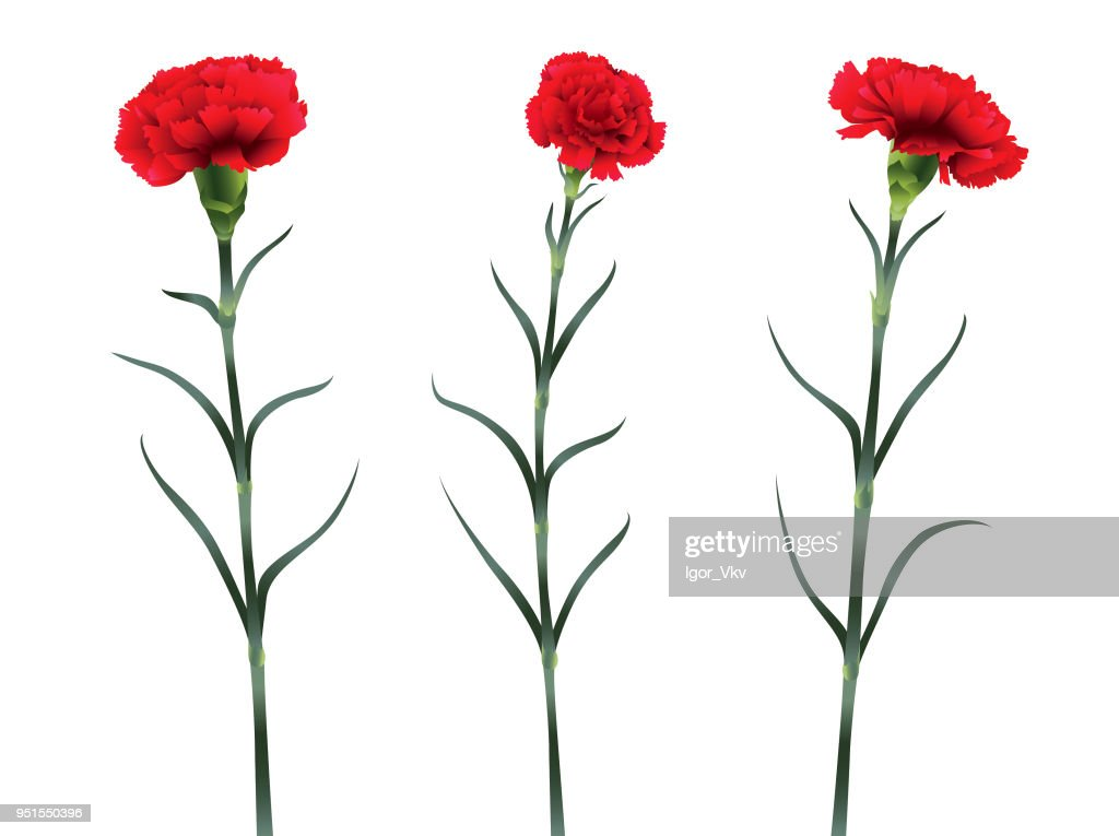 set of three carnation flowers