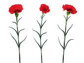 set of three carnation flowers