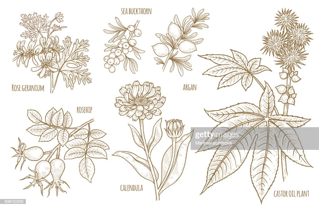 Set of vector images of medical plants.