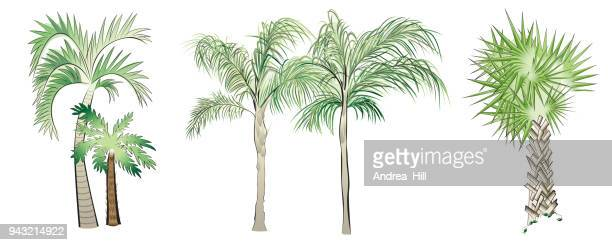 set of vector palm trees - palmetto florida stock illustrations