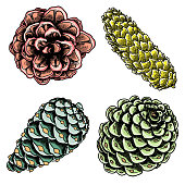 Set of watercolor painted and hand drawn inked drawing of pine cones. Collection of Christmas hand drawn fir cones. Cones of various trees cedars, firs, hemlocks, larches, pines and spruces. Vector.