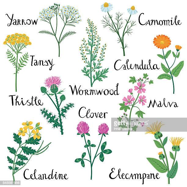 set of wild herbs used in medicine. - ranunculus stock illustrations, clip art, cartoons, & icons