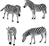 Set of zebra, vector illustration.