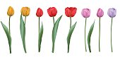 Set realistic vector tulips, isolated on white background