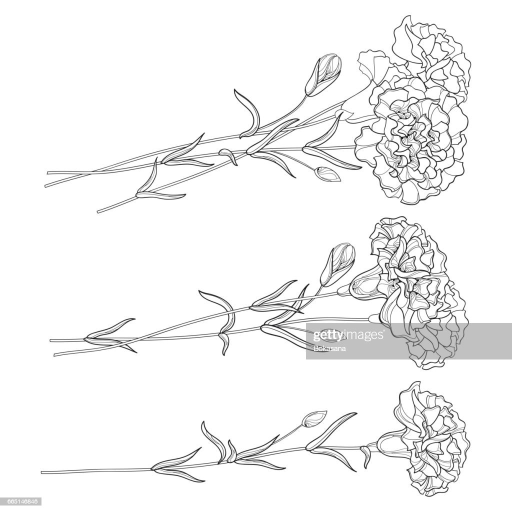 Set with Carnation, flower, bud and leaves isolated on white background.