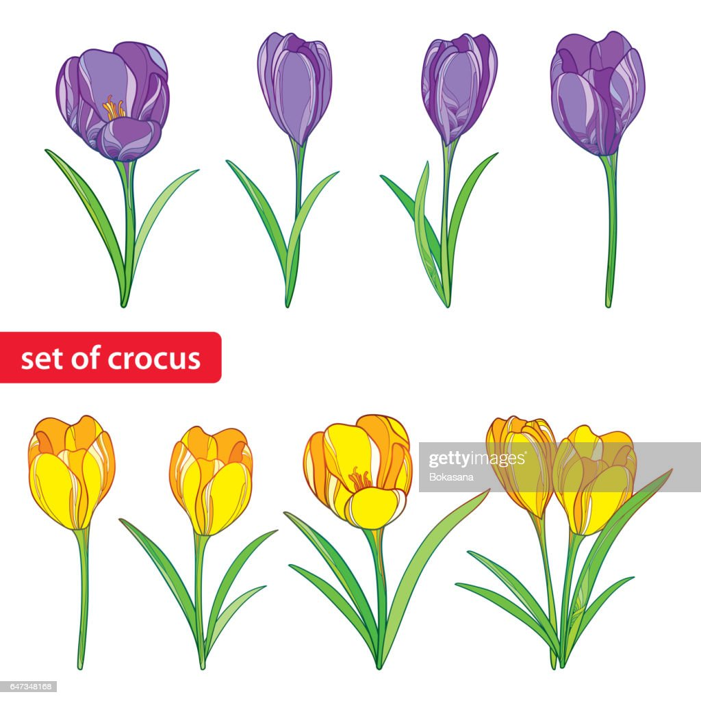 Set with crocuses or saffron flowers in purple and yellow isolated on white.