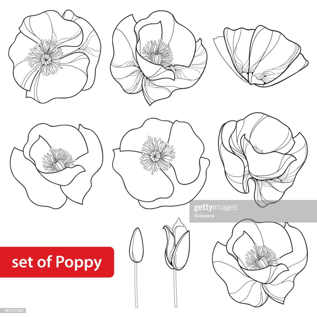 Set with outline Poppies, bud and open flowers isolated on white background.