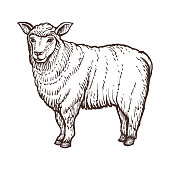 Sheep farm animal sketch, isolated sheep mammal on the white background. Vintage style