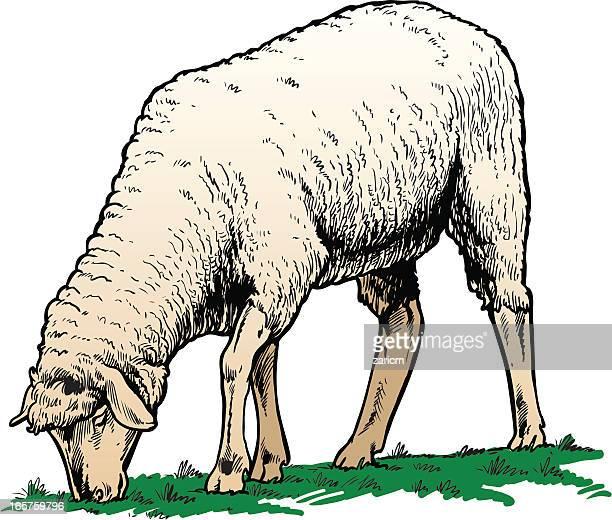 Illustrazioni e cartoni animati stock di ovino getty images