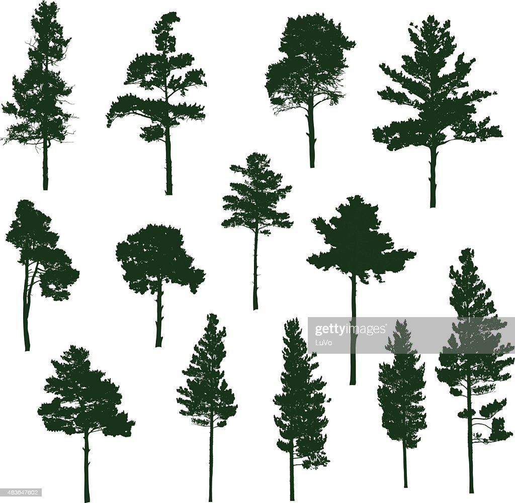 Siberian Pine tree : stock illustration