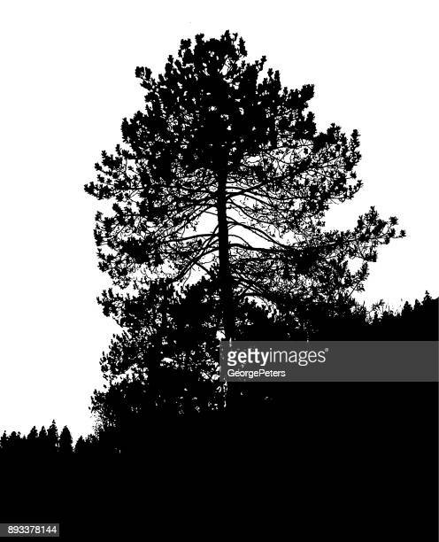Silhouette illustration of a Large red pine tree