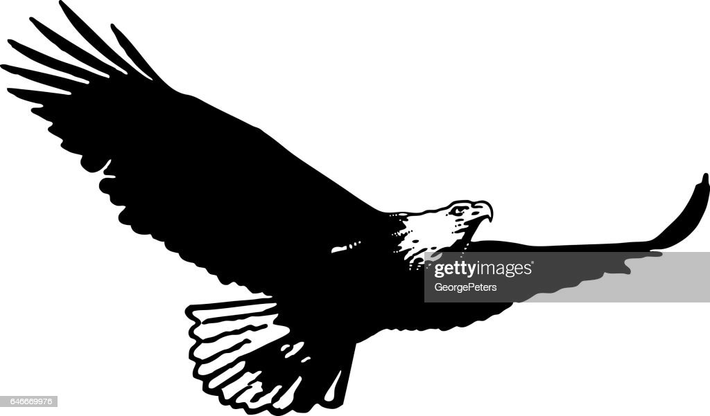 Silhouette of Bald eagle flying flying and hunting