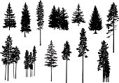 Silhouettes of pine trees.