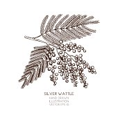silver wattle design